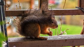 Wet Red squirrel hid from rain in balcony eating nut. Red squirrel eating nut in park in Ljubljana stock photography