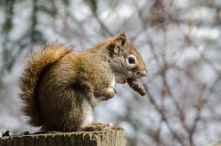 Red squirrel eating nut while perched on tree stump. Close up shot of red squirrel with nut in mouth eating while perched on cut tree stump with red tree limbs Stock Photo