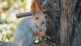 Red Squirrel Eating Nut Sitting on a Tree Trunk. Close up stock footage