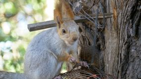 Red Squirrel Eating Nut Sitting on a Tree Trunk. Close up stock video footage