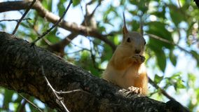 Red Squirrel Eating Nut Sitting on a Tree Trunk. Slow Motion. In 96 fps. Close up stock footage
