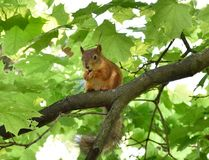 Cute red squirrel eating a nut on a tree branch. Red squirrel eating a nut on a tree branch Royalty Free Stock Photos