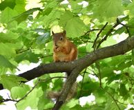 Red squirrel eating a nut on a tree branch. Cute red squirrel eating a nut on a tree branch Royalty Free Stock Image