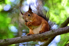 Red squirrel eating a nut on the tree branch Stock Image
