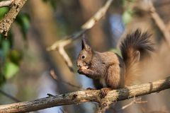 Red squirrel eating a nut on a tree branch wth his mouth open. Red squirrel or Sciurus vulgaris eating a nut on a tree branch in a deciduous forest with his Stock Photography