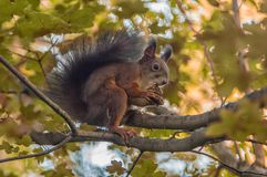 Red squirrel eating nut in tree canopy. In park in Ljubljana Stock Photos