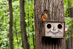 Red squirrel eating nuts on birdhouse. Wooden house with drawn comical funny face. summer forest background Royalty Free Stock Photo