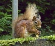 Red Squirrel eating nuts Lake District UK