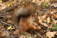 Red squirrel. Squirrel is eating nuts. Now is late autumn. Squirrel is preparing for winter royalty free stock photo