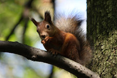Red squirrel. Squirrel is eating nuts. Now is late autumn. Squirrel is preparing for winter royalty free stock photos