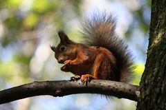 Red squirrel. Squirrel is eating nuts. Now is late autumn. Squirrel is preparing for winter royalty free stock images