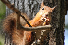 Red squirrel. Squirrel is eating nuts. Now is late autumn. Squirrel is preparing for winter stock image