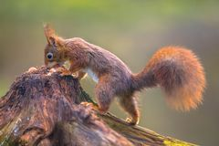 Red squirrel eating nuts stock photos