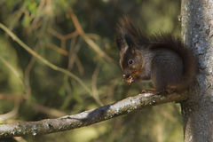 Red squirrel eating nuts Royalty Free Stock Image