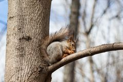 Red squirrel eating nuts, tree branch forest bbackground. Selective focus.  Royalty Free Stock Images
