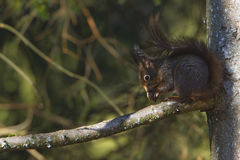 Red squirrel eating nuts, Vosges France Royalty Free Stock Photography