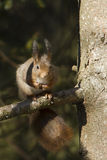 Red squirrel eating nuts, Vosges France Stock Photo