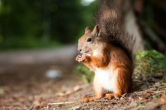 Red squirrel eating in a park Royalty Free Stock Photo