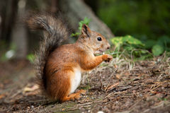 Red squirrel eating in a park Stock Photos