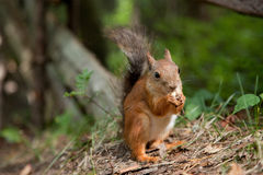 Red squirrel eating in a park Royalty Free Stock Photography