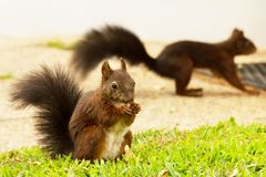 Red squirrel eating peanut, another squirrel in the background Stock Photo