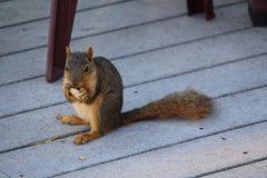 Red squirrel eating peanut Stock Photos