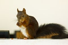 Red squirrel eating peanut in the windowsill Stock Images