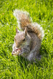 Red squirrel eating peanuts in St James �Park, London Royalty Free Stock Photography