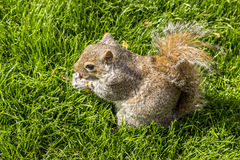 Red squirrel eating peanuts in St James 'Park, London Royalty Free Stock Photo