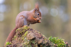 Red squirrel eating. A piece of an apple royalty free stock photography
