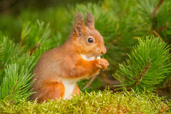 Red Squirrel eating in pine tree Stock Images