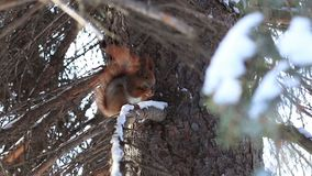 Red squirrel eating pine tree seeds in winter stock video
