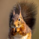 Red squirrel eating portrait royalty free stock photography