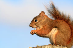 Red Squirrel Eating Seed Husk Stock Photos