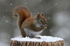 Red Squirrel Eating Seeds In Winter Royalty Free Stock Photos