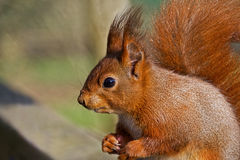 Red Squirrel Eating A Snack Stock Photography