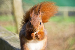 Red Squirrel Eating A Snack Royalty Free Stock Photo