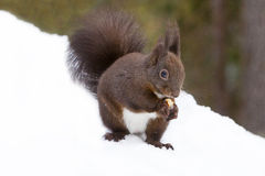 Red squirrel eating on the snow Royalty Free Stock Image