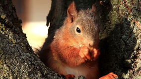 Red Squirrel eating stock video