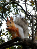 Red squirrel eating on the tree Stock Photos