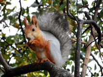 Red squirrel eating on the tree Royalty Free Stock Images