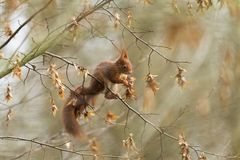 Red Squirrel eating in the tree