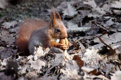 Red squirrel eating a walnut Royalty Free Stock Images