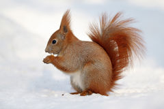 Red Squirrel eating on white snow. Eurasian Red Squirrel (Sciurus vulgaris) eating on white snow Royalty Free Stock Photography