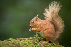 Red Squirrel Eating Stock Photography