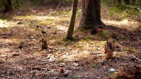 Red squirrel eats in forest stock video