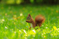 Red squirrel. Royalty Free Stock Photography