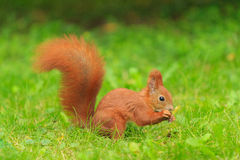 Red squirrel. Stock Photo