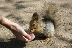 The red squirrel eats from a hand. The red squirrel eats a nut from a hand of the person Royalty Free Stock Images