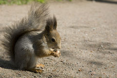 The red squirrel eats a nut. Holding it forepaws royalty free stock image